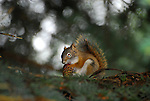 red squirrel with cone
