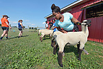 Sara Goitom, a resettled refugee from Eritrea, braces her sheep on a farm in Linville, Virginia, on July 17, 2017. She and other resettled youth are preparing to show sheep and goats in a county fair. Their families were resettled in the Harrisonburg, Virginia, area by Church World Service. <br /> <br /> Photo by Paul Jeffrey for Church World Service.