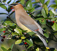 Adult cedar waxwing in fruiting yaupon bush