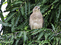Stock image Shikra with fierce eyes sitting on Ashoka tree.<br />