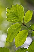 Europe/France/Auverne/63/Puy-de-Dôme/Parc Naturel Régional des Volcans/Env Le Mont-Dore: Hêtraie du  Lac de Guéry  - Détail feuilles de Hêtre