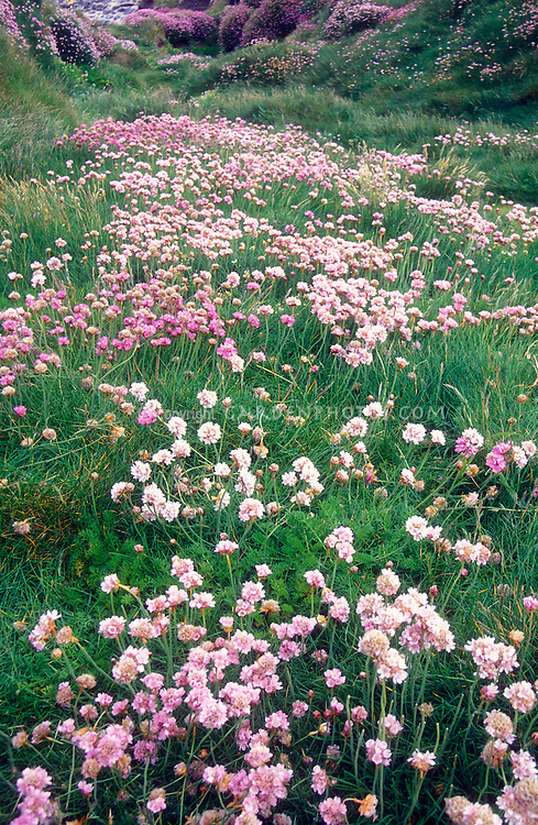 Sea Thrift Armeria maritima, naturalizing on Irish coast in southwest Ireland, County Cork, in masses with variety of pink colors