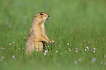 Prairie Dog in field of flowers.