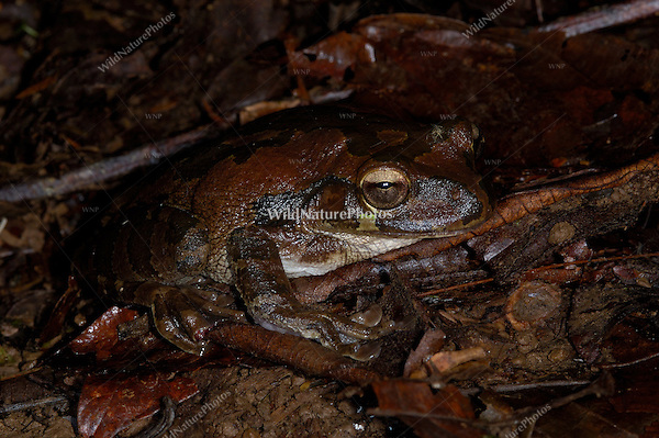 A Mexican tree frog, Smilisca baudinii, is nearly invisible on the rainforest floor; La Selva, Costa Rica