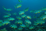 Sailfin snapper in big schools.Rowley Shoals, Western Australia