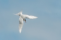 Forster's Tern, Hutton Lake NWT