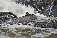 Sea Trout (Salmo trutta), Denmark, Bornholm, Bornholm creek