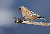 Brown-capped Rosy Finch - Leucosticte australis - Adult male non-breeding