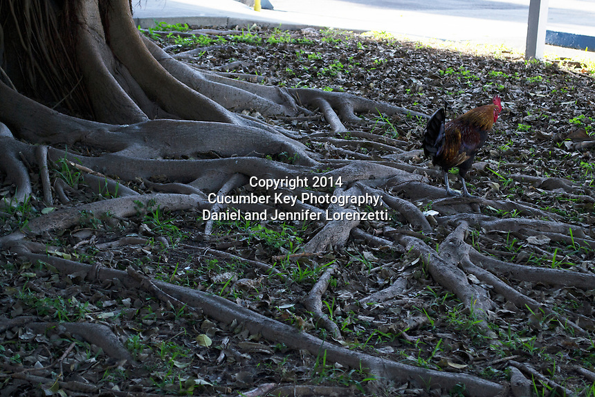 Roosters share the island of Key West with people and have free reign to go anywhere.  Here, the rooster is exploring the roots of a banyan tree near the Key West Courthouse.