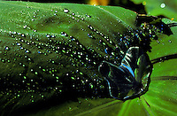 Closeup of fresh taro leaf with water droplets.