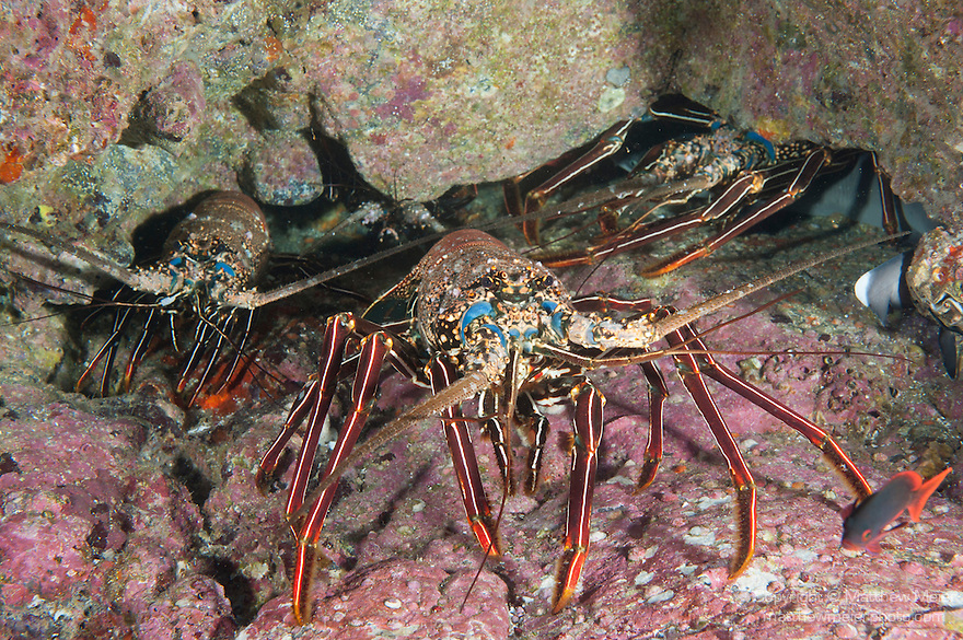 Cocos Island, Costa Rica; several very large Pronghorn Spiny Lobster (Panulirus penicillatus) under an overhang on the rocky reef