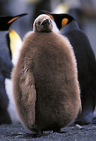King Penguin Aptenodytes patagonicus. South Georgia Island Antarctica.