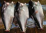 Large Tuna at Tsukiji Fish Market Tokyo Japan