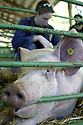 Closeup of a large show pig at the Kitsap County Fair in Bremerton, WA. Stock photography by Olympic Photo Group