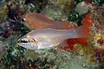 Apogon affinis, Bigtooth cardinalfish, Florida Keys