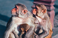 Rhesus Macaque, New Delhi, India
