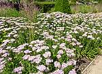Royal Horticultural Society gardens at Hyde Hall, Essex, England, UK cottage garden Achillea millefolium