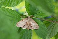 Brombeerspinner, Brombeer-Spinner, Weibchen, Macrothylacia rubi, fox moth, female, Le Bombyx de la ronce, Glucken, Lasiocampidae