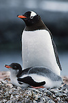 Gentoo penguins are distinguishable by the wide white stripe which extends like a bonnet across the top of their heads. Gentoo penguins feed mainly on crustaceans such as krill, although fish makes up about 15% of the diet.