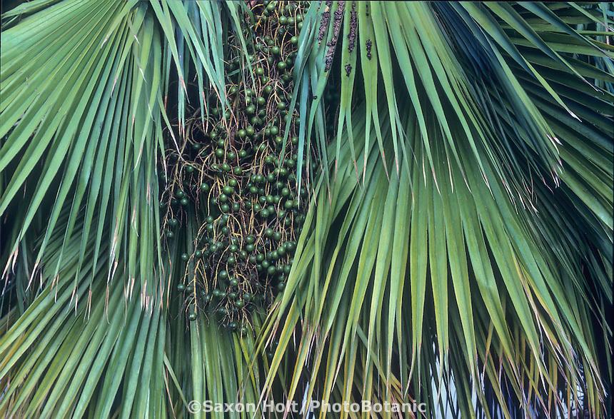 Brahea edulis (Guadalupe Palm) leaves detail