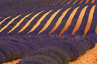 On the Valensole plateau in the Hautes-Alpes, the poetic sight of a lavender field, the symbol of Provence. The ochre soil and colored stripes running as far as the eye can see help forget the industrial character of lavender monoculture.