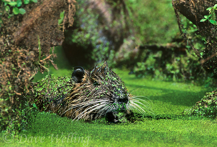 665955020 a wild nutria myocastor coypus an introduced species feeds in a duckweed filled pond on a nature conservancy property in southern louisiana