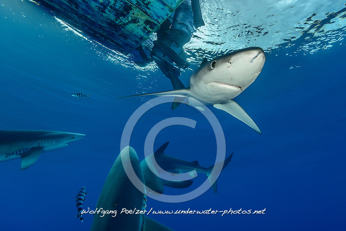 Prionace glauca, Blauhai, Blue Shark, Pico, Azoren, Atlanik, Azores, Atlanic Ocean