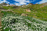 Wildflowers, American Basin, San Juan Mountains (range of the Rocky Mountains), Southwest Colorado USA