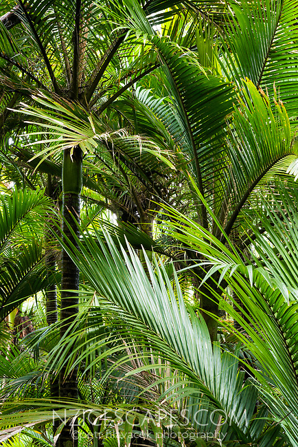 Native coastal forest of Nikau Palms in Kohaihai, Kahurangi National Park, Buller Region, West Coast, New Zealand, NZ
