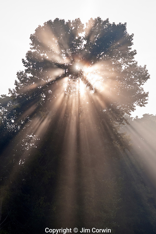 Crepuscular rays coming through tree in fog at sunrise