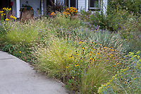 Prairie garden meadow with Bouteloua gracilis 'Blonde Ambition' Blue Grama grass and Rudbeckia by walkway in Denver Botanic Garden, Chatfield