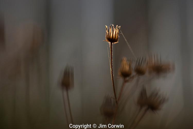 Dandelion stem backlit at sunrise