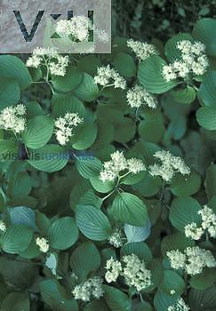 Alternate-leaf Dogwood leaves and flowers (Cornus alternifolia), North America.