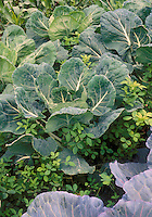 Clover planted with Brussel sprouts to add nutrients as natural fertilizer in vegetable garden