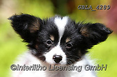 Bob, ANIMALS, REALISTISCHE TIERE, ANIMALES REALISTICOS, dogs, photos+++++,GBLA4289,#a#, EVERYDAY