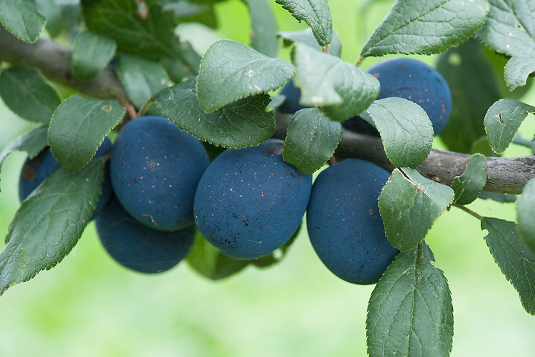 Damson 'Farleigh Damson' (Prunus domestica 'Farleigh' syn. Prunus insititia 'Farleigh Damson'), early September. A very dark blue culinary damson.