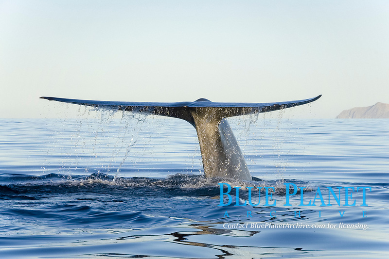 Blue whale, Balaenoptera musculus, Endangered Gulf of California Mexico, Pacific Ocean