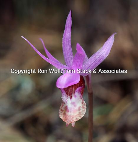 Calypso Orchid (Calypso bulbosa var. occidentalis) a/k/a Pacific Fairy Slipper, Western Fairy Slipper. Matt Davis Trail. Pentoll area. Mt. Tamalpais State Park. Marin Co., Calif.