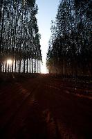 Turmalina_MG, Brasil...Plantacao de eucaliptos em Turmalina, Minas Gerais...Eucalyptus plantation in Turmalina, Minas Gerais...Foto: LEO DRUMOND / NITRO