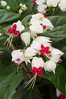 White flowers stock images photos images plant flower stock clerodendrum thomsoniae common name of bleeding heart vine or glory bower in red and mightylinksfo