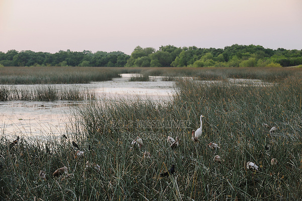 Heron rookery in Lake, Fennessey Ranch, Refugio, Corpus Christi, Coastal Bend, Texas Coast, USA