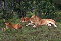 African lions, Masai Mara, Kenya