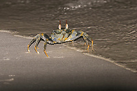 Horned Ghost Crab (Ocypode ceratophthalmus), adult, standing in tideline on sandy beach at night, Maldives, Asia