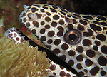 Orchid Island, Taiwan -- Close-up of a blackspotted moray, Gymnothorax favagineus.