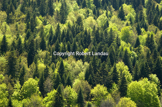 Trees turning green in the springtime in Auvergne, France