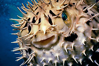 long-spine porcupinefish, longspined porcupinefish, freckled porcupinefish, Diodon holocanthus, being inflated with spines erect as a defense mechanism, Grand Cayman, Cayman Islands, Caribbean Sea, Atlantic Ocean