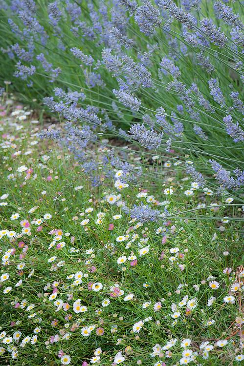 Erigeron karvinskianus and Lavender, late July.