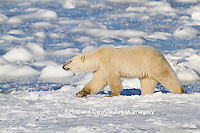 01874-13313 Polar Bear (Ursus maritimus) walking near Hudson Bay Churchill Wildlife Management Area Churchill MB