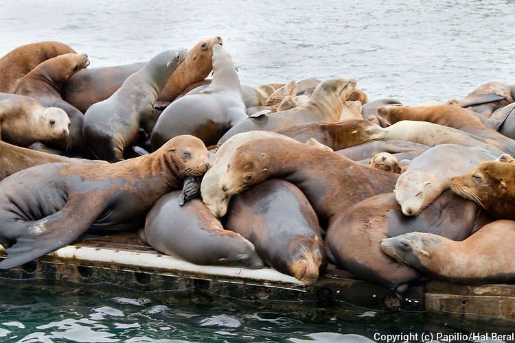 California Sea Lions have taken over a dock and can not be removed because of the Marine Mammal Protection Act.(Zalophus califorianus).Moss Landing,California