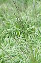 Molinia caerulea 'Kew Bronze', early July. A form of Purple moor grass.